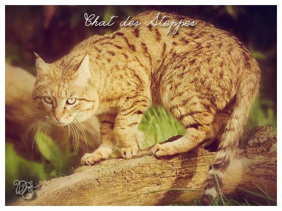 chatdessteppes1