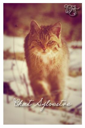 chatsylvestre2