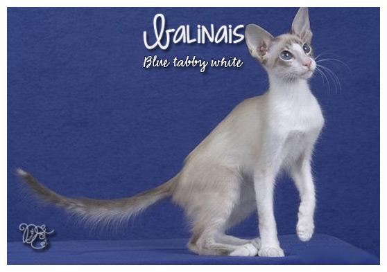 Balinais blue tabby white