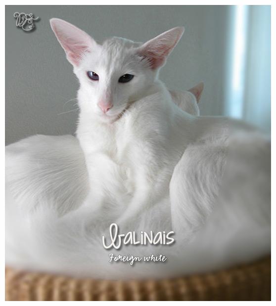 Balinais foreign white