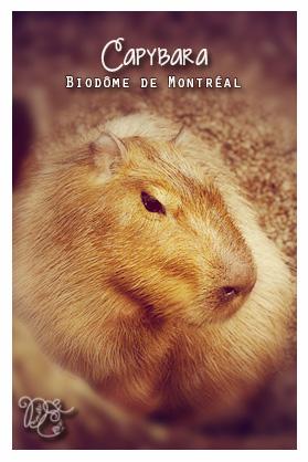 Capybara, Biodôme de Montréal