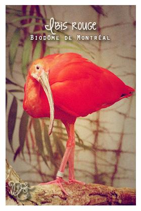 Ibis rouge, Biodôme de Montréal