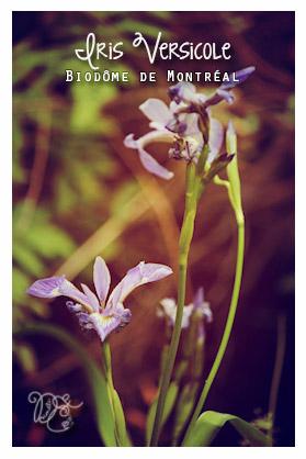 Iris versicole, Biodôme de Montréal