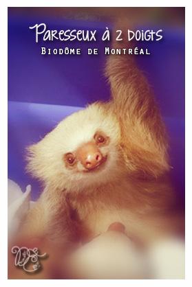 Paresseux à 2 doigts, Biodôme de Montréal