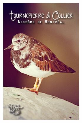 Tournepierre à collier, Biodôme de Montréal