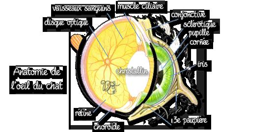 Anatomie de l'oeil du chat
