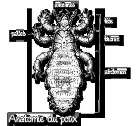 Anatomie du poux
