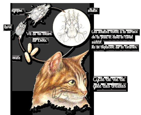 Parasites du chat page 6 de4c for Exterieur oreille qui gratte