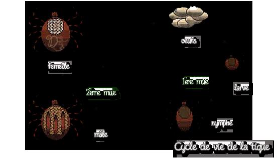 Cycle de vie de la tique du chat