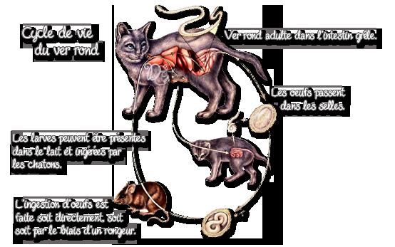 Cycle de vie du ver rond