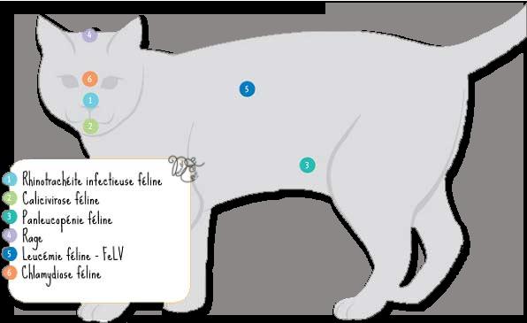 Principaux vaccins du chat
