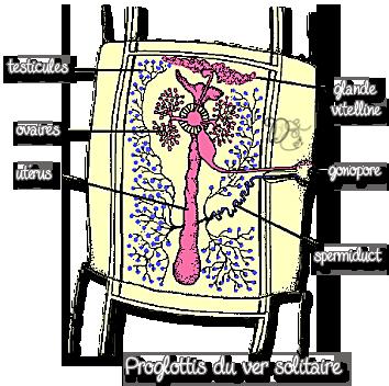 Proglottis du vers solitaire