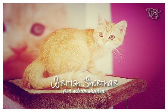 British Shorthair red silver shaded