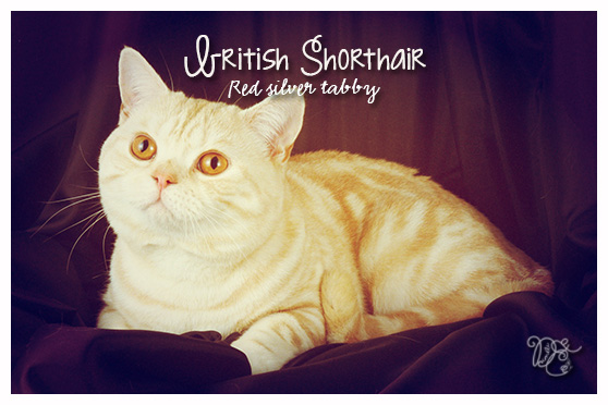 British Shorthair red silver tabby
